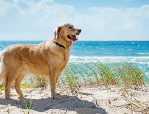Golden Retriever Dog Price Profile,Pictures,Facts,Temperament,Characteristics,Care Info,Questions,and Breed Informatio