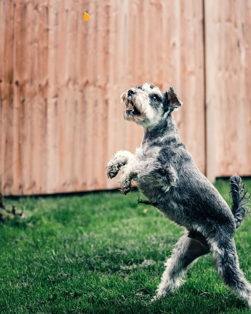 Special Nutritional Needs for Senior Dogs